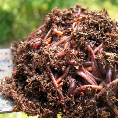 Compostwormen - 200 gr
