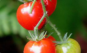 Tomatensteunen