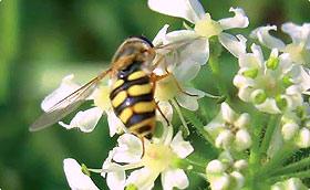 Zaden voor nuttige bloemen en kruiden